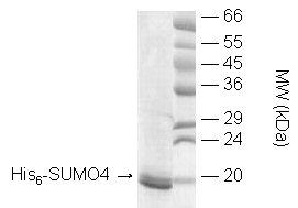 SUMO-4 (human), (recombinant) (His-tag) SDS-PAGE