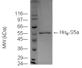 Rpn10 (S5a) (human), (recombinant) (His-tag) SDS-PAGE