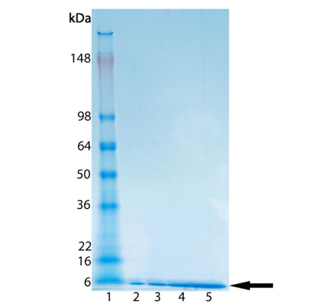 Ubiquitin (bovine), (native) (methylated) SDS-PAGE