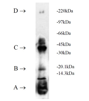 UbcH1 (human), (recombinant) (His-tag) SDS-PAGE