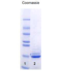 SUMO-1 (human), (recombinant) (His-tag) SDS-PAGE