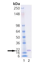 SUMO-3 (human), (recombinant) (His-tag) SDS-PAGE