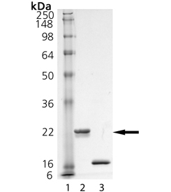 pro-ISG15 (human), (recombinant) (His-tag) SDS-PAGE