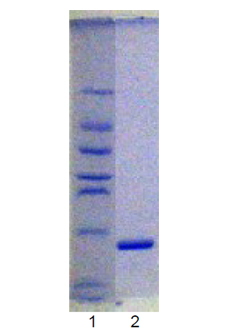 Ubc9 (human), (recombinant) (untagged) SDS-PAGE