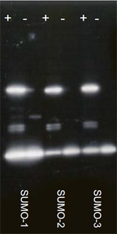 Ubc9 (human), (recombinant) (untagged) Western blot