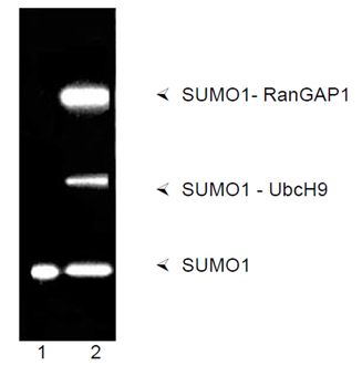 SUMO activating enzyme E1 (human), (recombinant) SDS-PAGE