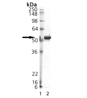 SENP2 (catalytic domain) (human), (recombinant) (GST-tag) SDS-PAGE