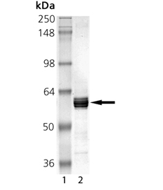 USP14 (human), (recombinant) (untagged) SDS-PAGE