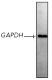 GAPDH monoclonal antibody (1D4) Western blot