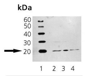 ARF1 monoclonal antibody (ARFS 3F1) Western blot