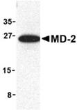 MD-2 polyclonal antibody Western blot
