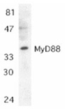 MyD88 polyclonal antibody Western blot