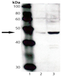 Tapasin polyclonal antibody Western blot