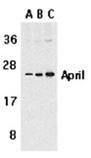 APRIL polyclonal antibody Western blot