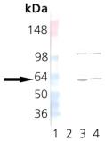 TCP-1 α monoclonal antibody (23c) Western blot