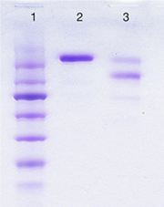 IgE (non-immune) (human) SDS-PAGE