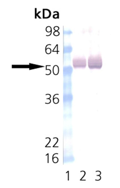 CaMKII monoclonal antibody (6G9) Western blot