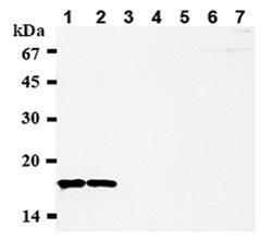 CENP-A monoclonal antibody (3-19) Western blot