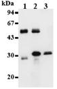 Cdk1/cdc2 monoclonal antibody (5F6) Immunoprecipitation
