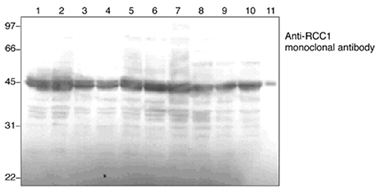 RanGEF monoclonal antibody (3D11) Western blot