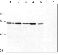 ORC2 monoclonal antibody (3B7) Western blot