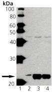 Ras polyclonal antibody Western blot