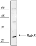 RAB5 polyclonal antibody Western blot