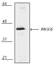 MKK6 polyclonal antibody Western blot