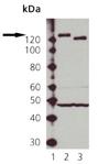 eNOS polyclonal antibody Western blot
