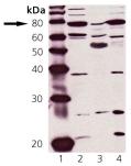 PKG polyclonal antibody Western blot