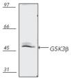 GSK-3β polyclonal antibody Western blot