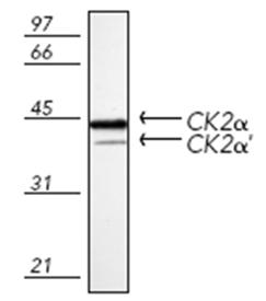 Casein Kinase 2 α polyclonal antibody Western blot