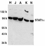 Stat1 α polyclonal antibody Western blot