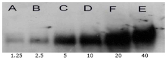 Acetylated Lysine polyclonal antibody Immunoprecipitation