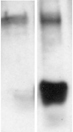 Methylated Lysine polyclonal antibody Western blot