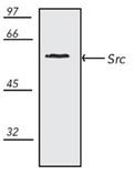 Src polyclonal antibody Western blot