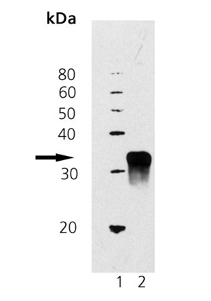 Dkk-1 (mouse), (recombinant) (His-tag) Western blot
