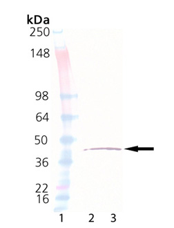 eIF2α (human), (recombinant) (His-tag) Western blot