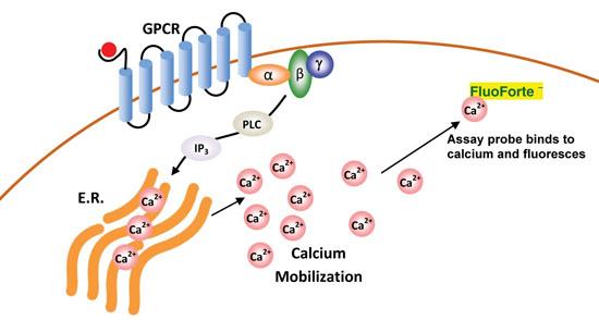 FLUOFORTE® Calcium assay kit  image