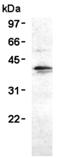 HA-tag polyclonal antibody Western blot