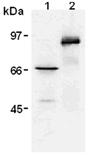 Myc-tag monoclonal antibody (PL14) Western blot