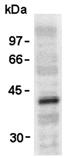 Vesicular stomatitis virus (VSV-G) tag polyclonal antibody Western blot