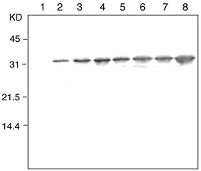 Thioredoxin monoclonal antibody (2C9) Western blot