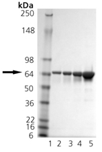 HSP70/HSP72 (human), (recombinant) SDS-PAGE