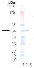 HSP70/HSP72 (human), (recombinant) Western blot