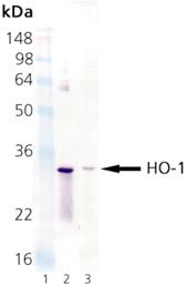 HO-1 monoclonal antibody (HO-1-2) Western blot