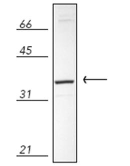 Biliverdin Reductase polyclonal antibody Western blot