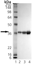 HO-2 (rat), (recombinant) SDS-PAGE