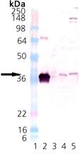HO-2 (rat), (recombinant) Western blot