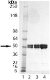 p47Phox (phosphorylated) (human), (recombinant) (His-tag) SDS-PAGE